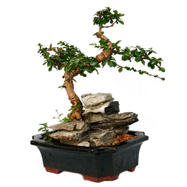 bonsai 20 cm height