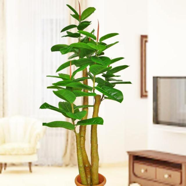 Artificial Rubber Plant 1.9m
