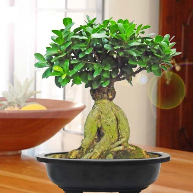 Feroniella Lucida bonsai tree about 20cm height