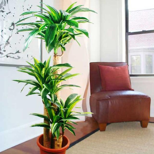 5 feet artificial Dracaena Plants