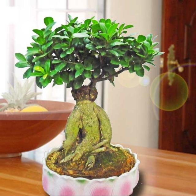 Ginseng Ficus Bonsai 38cm Height