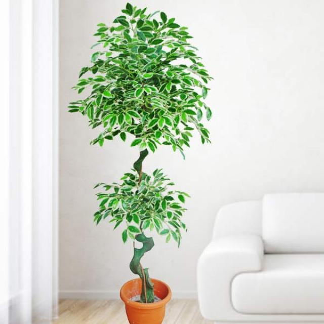 Artificial Ficus benjamina Plant 6 feet Height