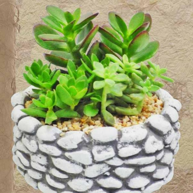 Cactus and Succulents Plants in Stone shape Pot