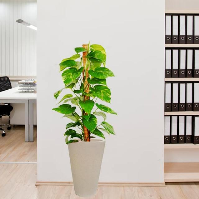 Money Plant In Cream Color Pot 110cm total Height