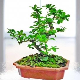 Fukien Tea Bonsai About 25cm Height